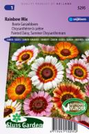 Daisy painted, Summer Chrysanthemum Rainbow Mix