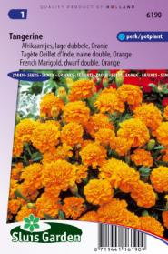 Marigold, French dwarf double Tangerine (orange)