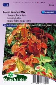 Painted or Flame Nettle Rainbow mix