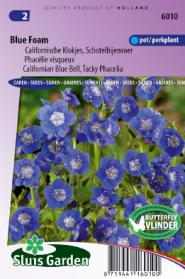 Phacelia, Californian Blue Bell Blue Foam
